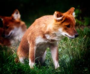 Asiatic Wild Dog -