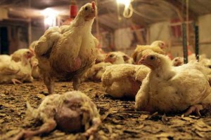 broiler-chickens-slide4