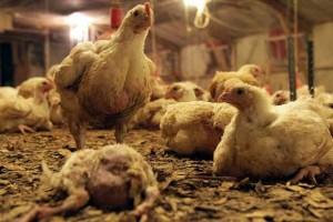 broiler-chickens-slide4