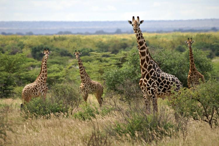 Giraffes-e1460129053766