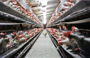 "A battery cage egg farm with an escaped hen on the walkway between the tiers of battery cages. (Feel free to distribute freely for not-for-profit use, but please credit Farm Sanctuary. If you are media and are in need of a high-resolution version of this image, please contact us requesting the file ""hens4_300_1"".)"