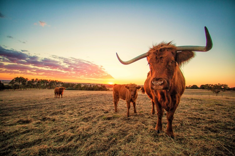 Cow sunrise