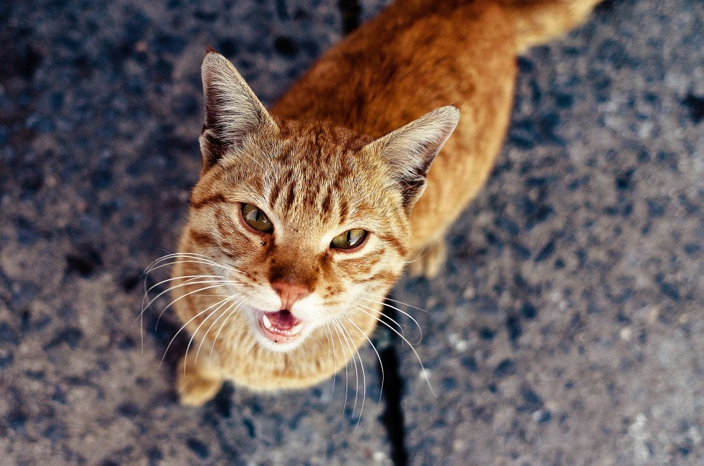 Ginger meowing cat
