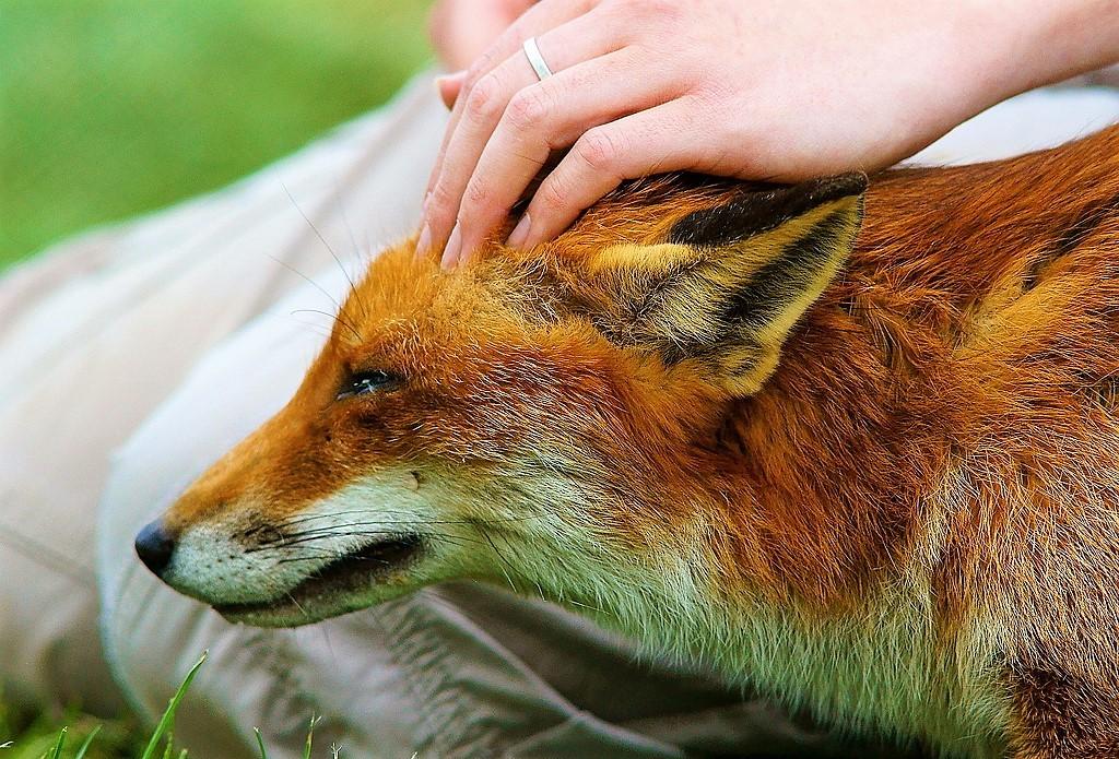 Petting fox