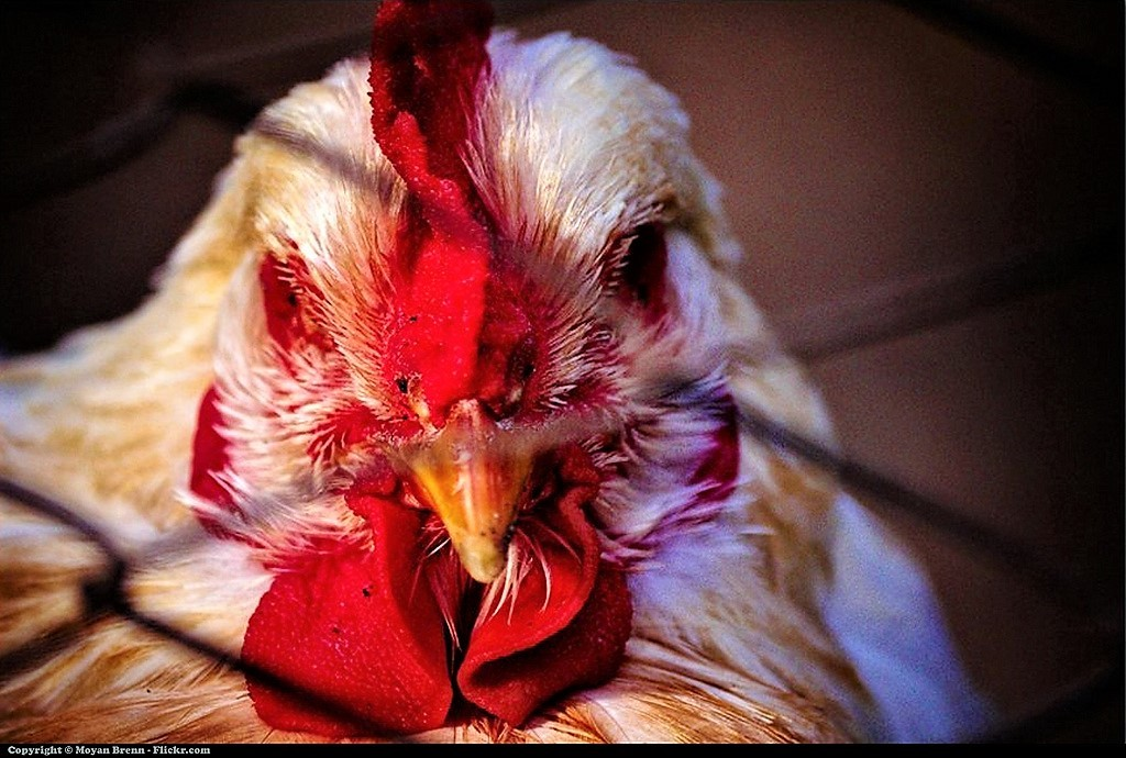 Unhappy Chicken