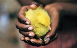 Chicken in hands